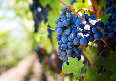 accroche-vigne